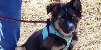 shepherd mix puppy wearing blue harness