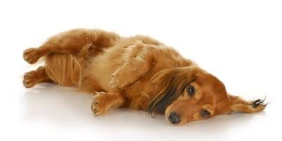 wzdęty brzuch u psa