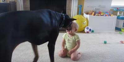 video perro doberman juega bebe