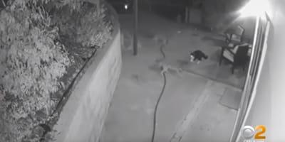 Trzy dzikie kojoty podchodzą do domu. To, co się potem dzieje jest niewiarygodne! (VIDEO)