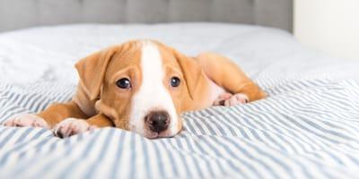 Junge Hund auf Bett