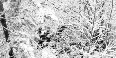 Labrador ukrywający się w śniegu.