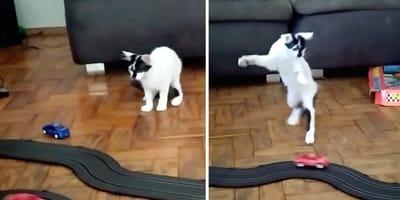 Nietypowa reakcja kotki na nową zabawkę