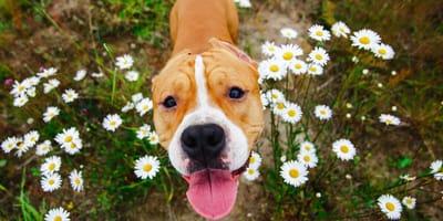 10 razones para tener un perro de raza Staffordshire bull terrier