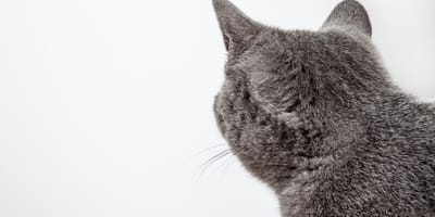Grey cat from the back