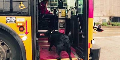 This pooch rides the bus all by herself!