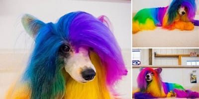 A small multi-coloured dog creatively groomed