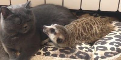 gatto-e-suricato