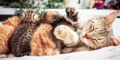 ¿Hasta cuándo se amamantan los gatos?