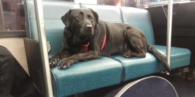 Labrador fährt jeden Tag allein mit dem Bus. Als er aussteigt, geht allen ein Licht auf!