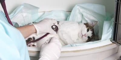 dieta para gatos con problemas hepaticos
