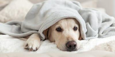 Hund liegt unter Decke