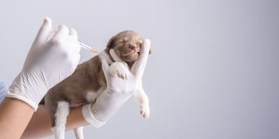 Prevención contra la leishmaniasis canina: ¿cómo protejo a mi perro?