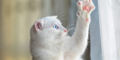 Displasia en gatos