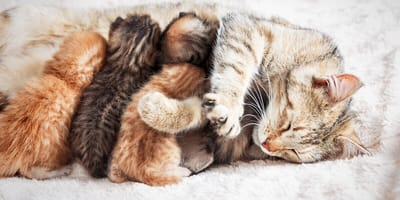 ¿Cómo es la alimentación de una gata lactante?