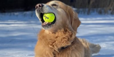 golden retriever holding a tennis ball in the snow