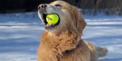 golden-retriever-che-tiene-una pallina-da-tennis-nella-neve