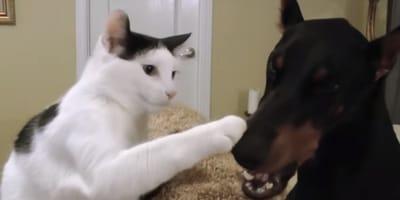 gatito y doberman frente a frente