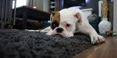 Boxer dog lies on floor looking poorly