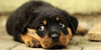 cucciolo di cane