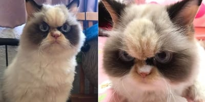 Meet Meow Meow, the 'angry-looking' cat