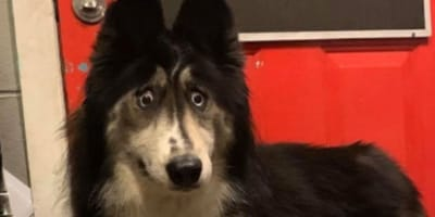 Breeder abandons this special Husky, but now couldn't regret it more