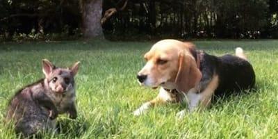 Beagle dog with possum on grass