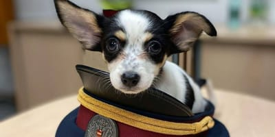 Chihuahua in einer Polizeimütze