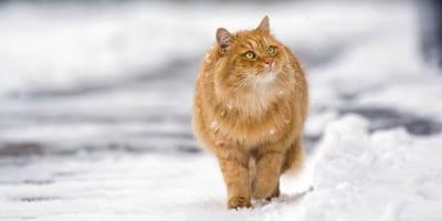 rudy kot na śniegu