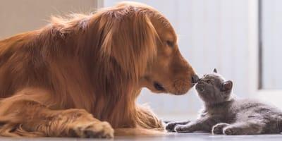 presentar perro y gato