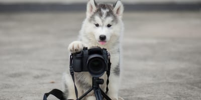 Baby husky with a camera taking a picture