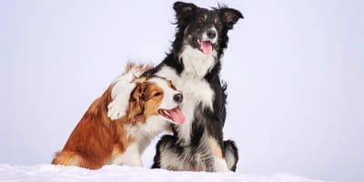 Pies zimą - jak się nim opiekować, gdy jest mroźnie i pada śnieg