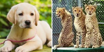 Labrador-Welpe und Geparden
