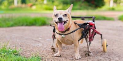 Sillas de ruedas para perros: cuál comprar, cuál es más cómoda