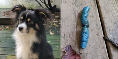 The MYSTERY behind Australian shepherd's blue poop finally solved!
