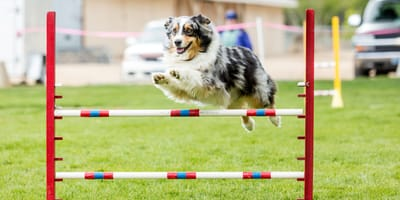 Dog agility: Everything you need to know