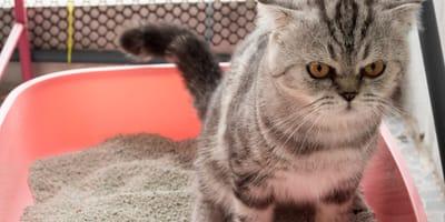 Gato come arena del arenero