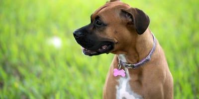 How long does a female dog's season last?