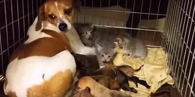 perra cuida gatos