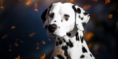 Das sind die schönsten schwarz-weißen Hunderassen