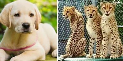 Labrador i gepardy