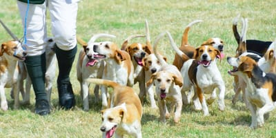 beagle na polowaniu