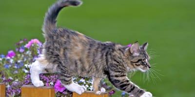 Gatto-cammina-su-una-staccionata