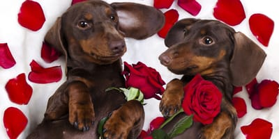 planes san valentin perro