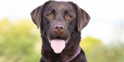Brown labrador smiling