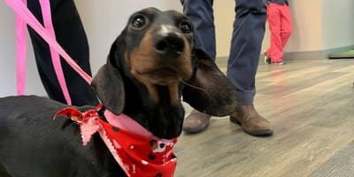 Dachshund dog in the care of Missouri police
