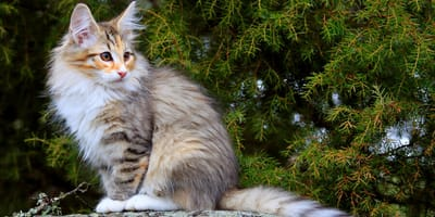 Eine Norwegische Waldkatze