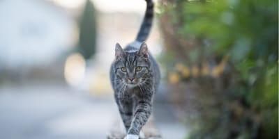 gatto-cammina-sul-muro