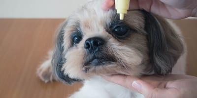conjuntivitis perros tratamiento