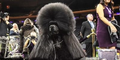 Siba is the 5th poodle to win best in show